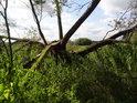 Lužně polámaná vrba na pravém břehu Labe pod městem Lauenburg.