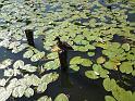 Kachna je na přítomnost lidí zvyklá a tak sedí klidně na kůlu ve velkém pravobřežním rameni Labe v Čelákovicích nedaleko přírodní rezervace Lipovka - Grado.