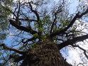 Zimní dub v levobřežním luhu Labe.