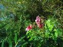 Netýkavka patří k lužním květinám.