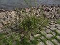 Mladý vrbový keř se uchytil mezi kameny na levém břehu Alte Elbe.