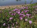Květinová výzdoba ve vší přirozenosti na pravém břehu Labe u Alt Lostau.