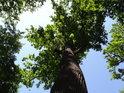 Štíhlý dub se štíhlou korunou na pravém břehu Opatovického kanálu v Bohdanči.