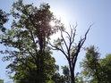 Slunce v korunách prořídlých dubů, které zpevňují pravý břeh Opatovického kanálu nad koupalištěm v Bohdanči.