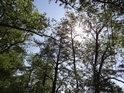 Jarní Slunce v olších, tyčícími se nad Opatovickým kanálem v Podůlšanech.