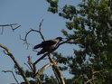 Vrána šedivka na uschlém pravobřežním jasanu u Labe u Wittenberge.